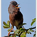 Dartford Warbler by Chris(C) & Sue (S) M-T