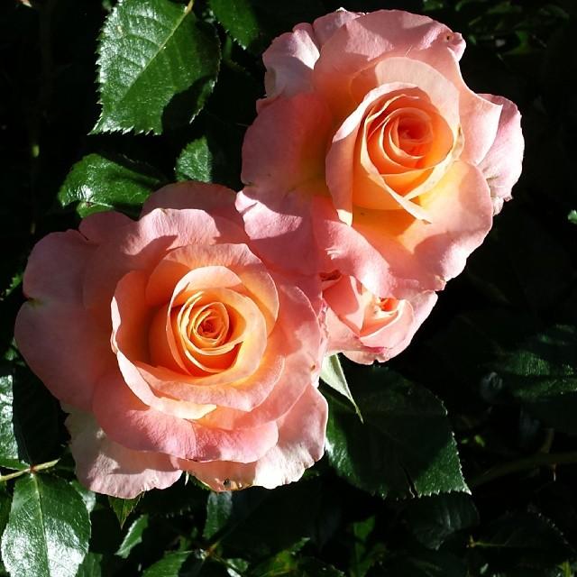 Easter roses  #spring #easter #flowers #gardening #rose