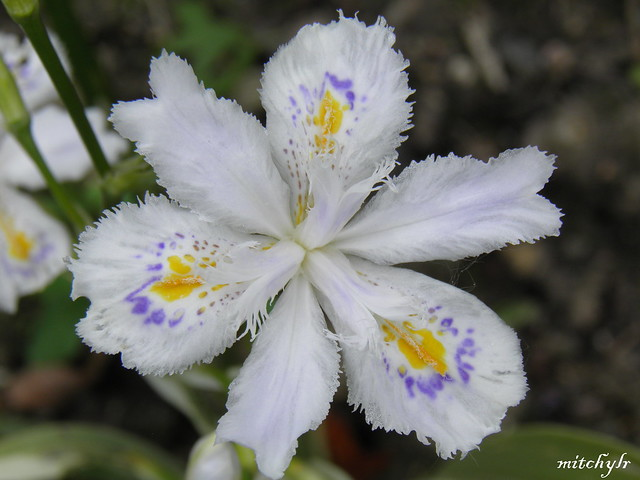 White Iris 1