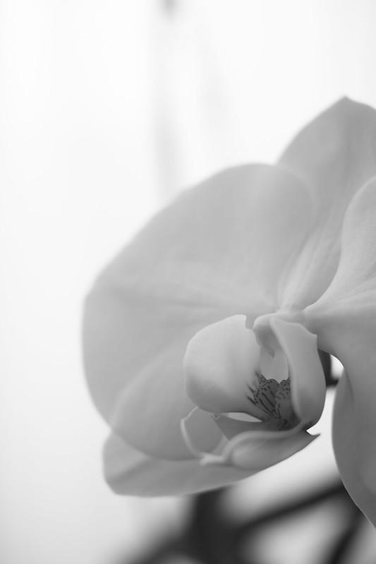 a moth orchida phalaenopsid
