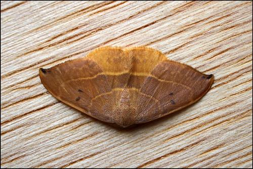 Traça (Watsonalla uncinula) - Spiny Hook-tip Moth