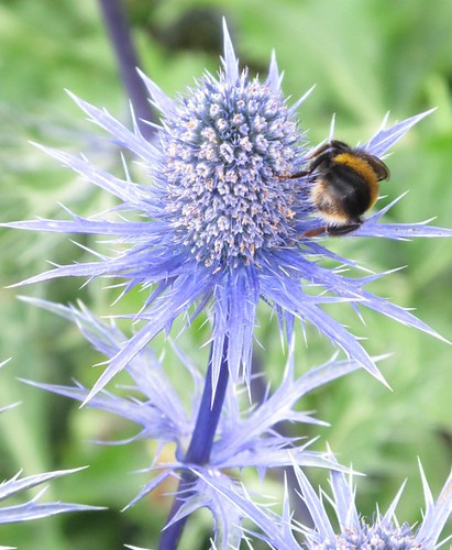 Bee on sea holly