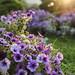 purple flowers in Yokohama. by cate♪