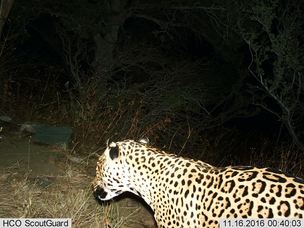 Male Jaguar–Photo Courtesy of BLM