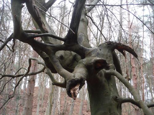 Tree in Sheephatch Copse