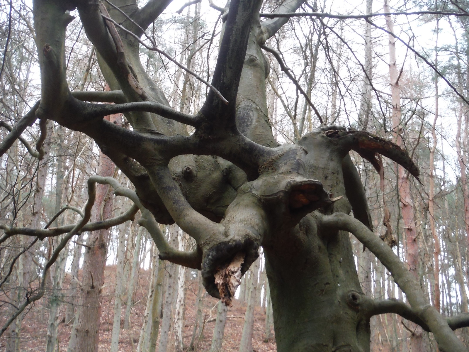 Tree in Sheephatch Copse SWC Walk 144 Haslemere to Farnham