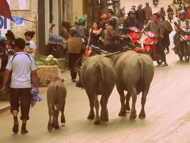 Water buffaloes walking down the street in Sapa, Vietnam