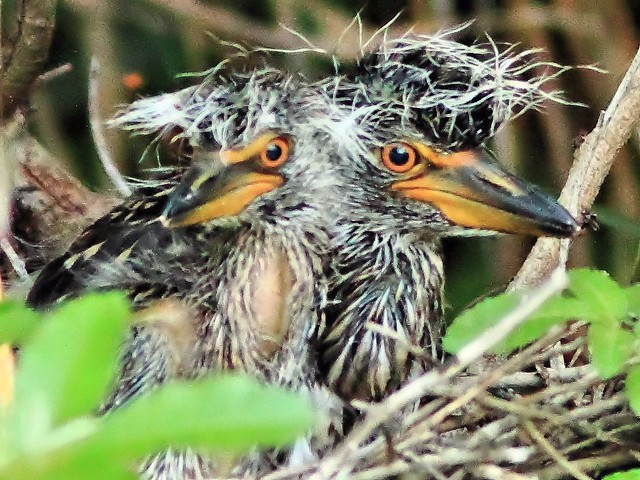 Yellow-crowned Night-Heron nestlings 20130525
