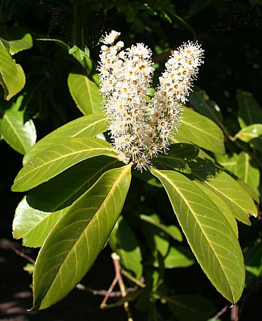 Hojas y flor de Laurel. Autora, Anne Burguess