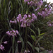 Small photo of Allium cernuum - Nodding Onion