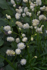 SANGUISORBA species ex. Japan