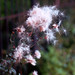 Small photo of agrimony