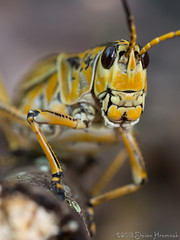 Romalea Guttata - Eastern Lubber Grasshopper (Hey!  I'm nicer than that HSS Mole!)