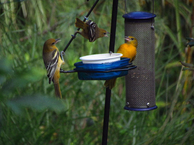 Orioles at feeder6 8:23:13