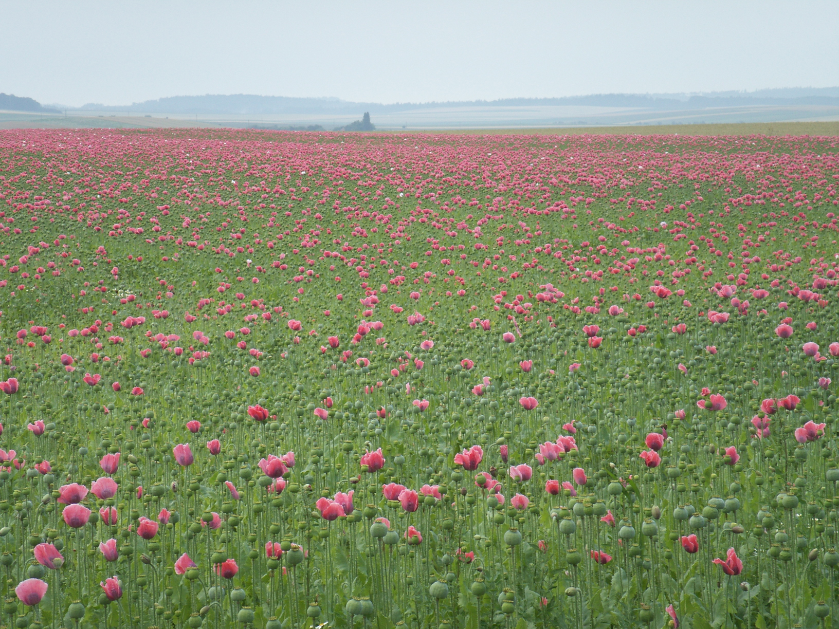 opium poppy field papaver somniferum pink