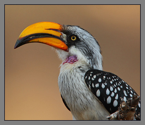 Eastern Yellow-billed Hornbill male by Rainbirder
