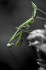 mantis nymph (selective color)
