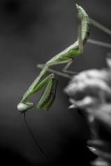 mantis nymph (selective color)