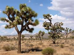 Joshua Tree National Park (California)
