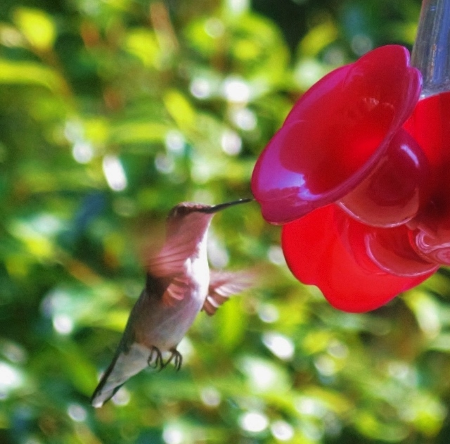 southeastern hummingbirds