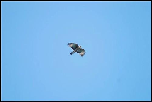 熊鷹的活動頻度在中午前後達到高峰,圖中為一齡幼鳥。(圖片攝影:黃永坤)