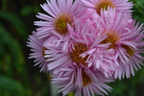 SYMPHYOTRICHUM novae-angliae 'Pink Victor'