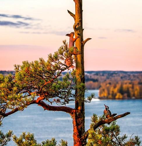autumn fall nature sunrise finland woodpecker squirrel autumncolors 1001nights tampere pyynikki tikka syksy lintu ruska pyhäjärvi auringonnousu