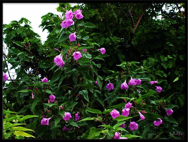 Purple Hibiscus Backyard Snob : purple hibiscus  Flickr  Photo Sharing!