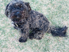 dog breed, animal, dog, schnoodle, pet, glen of imaal terrier, mammal, poodle crossbreed, bouvier des flandres, catalan sheepdog, cairn terrier, cã£o da serra de aires, cockapoo, spanish water dog, barbet, terrier,