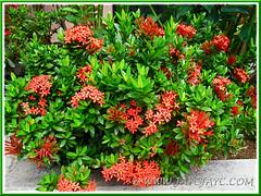 Ixora coccinea 'Dwarf Red' (Jungle Flame/Geranium, Flame of the Woods), 2 Nov 2013