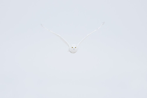 The Owl from Nowhere - Snowy Owl