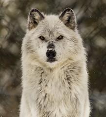 arctic fox, dog breed, animal, canis lupus tundrarum, gray wolf, east siberian laika, greenland dog, wolfdog, native american indian dog, carnivoran,