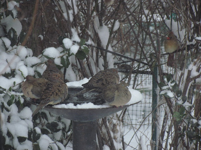 Mourning Doves and Cardinal2 1:22:14