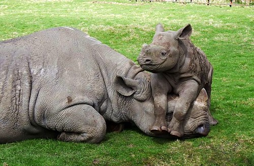 Happy Baby Rhino