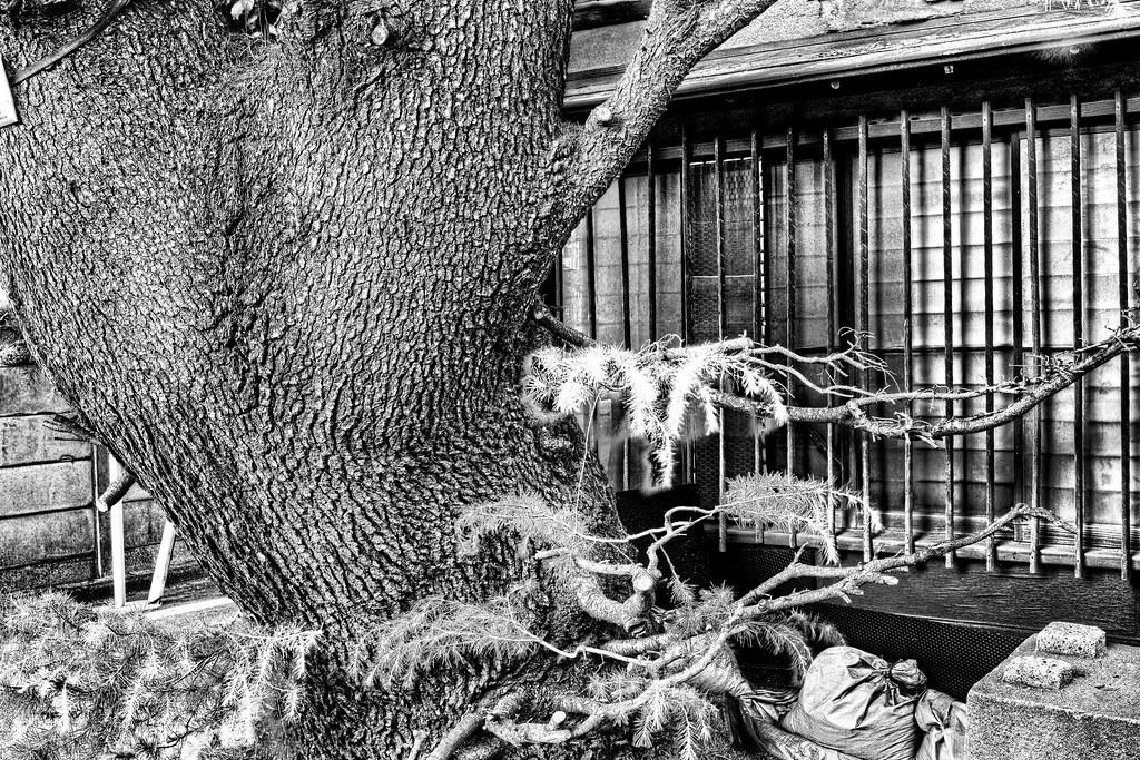 谷中ヒマラヤ杉4