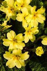 large-flowered evening primrose (0.0), narcissus(0.0), flower(1.0), yellow(1.0), plant(1.0), macro photography(1.0), wildflower(1.0), flora(1.0), herbaceous plant(1.0), primula(1.0), petal(1.0),