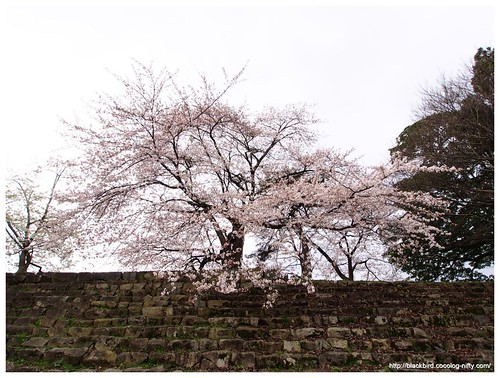 Cherry blossoms 140404 #03