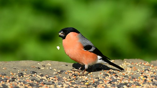 Bullfinch (M) - Breakfast time