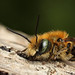 Mason bee Osmia caerulescens #2 by Lord V