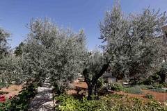 Visitando el Huerto de los Olivos