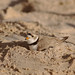 Piping plover's nest