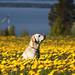 Field of dandelions by D-i-g-g-i-e