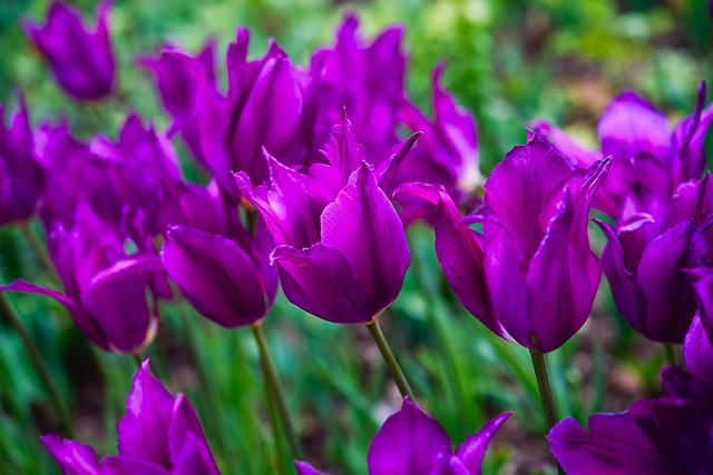 Descanso Purple Tulips