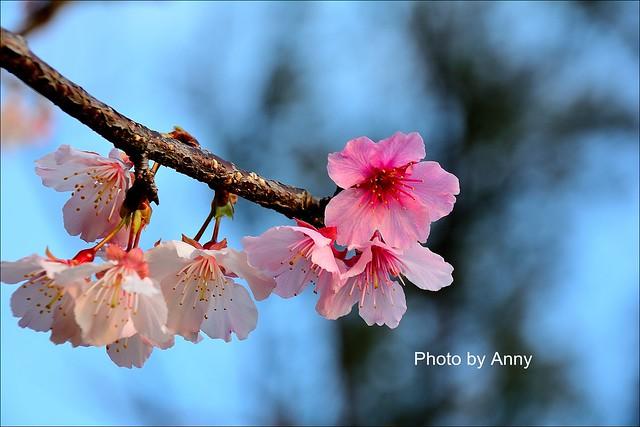 麗池櫻花49