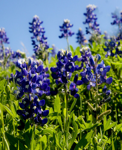 Photographing America: Texas Bluebonnets - cover