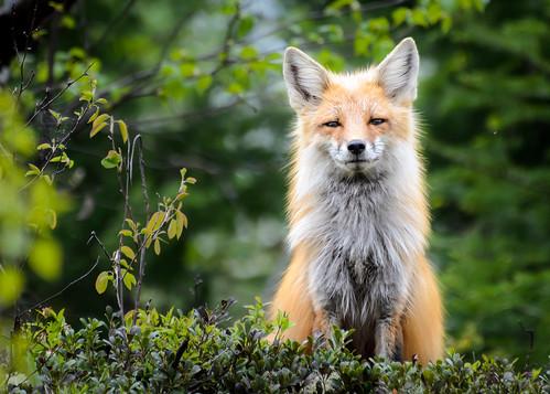 2013 06 01 Fox