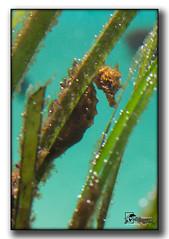seahorse, seaweed, organism, fauna,