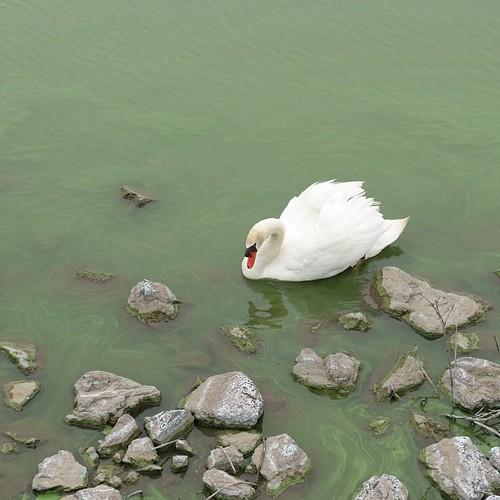 池の回りを自転車で走っていると、大きな白い鳥がついて来ました。大き過ぎて、最初は乗り物かと思った(笑)