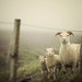 Here's Looking at Ewe by IrenaS