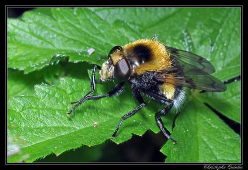 Volucelle bourdon femelle (Volucella bombylans)